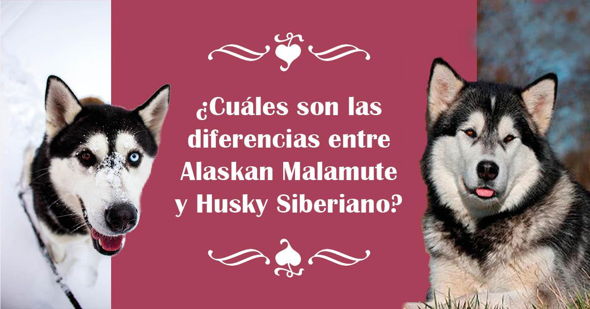 alaska vs. husky