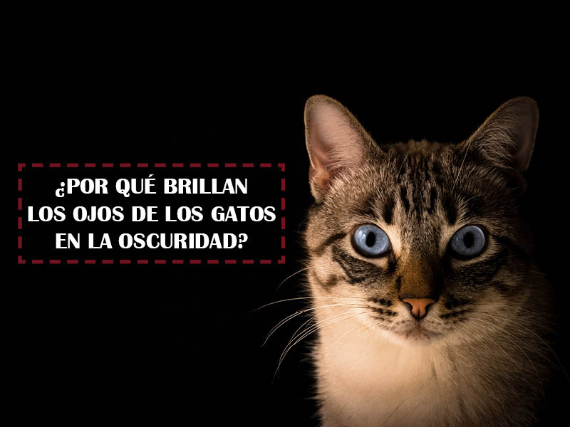 ojos brillan gatos