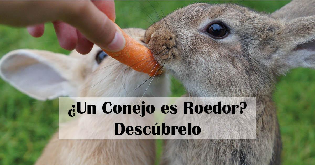 un conejo es roedor