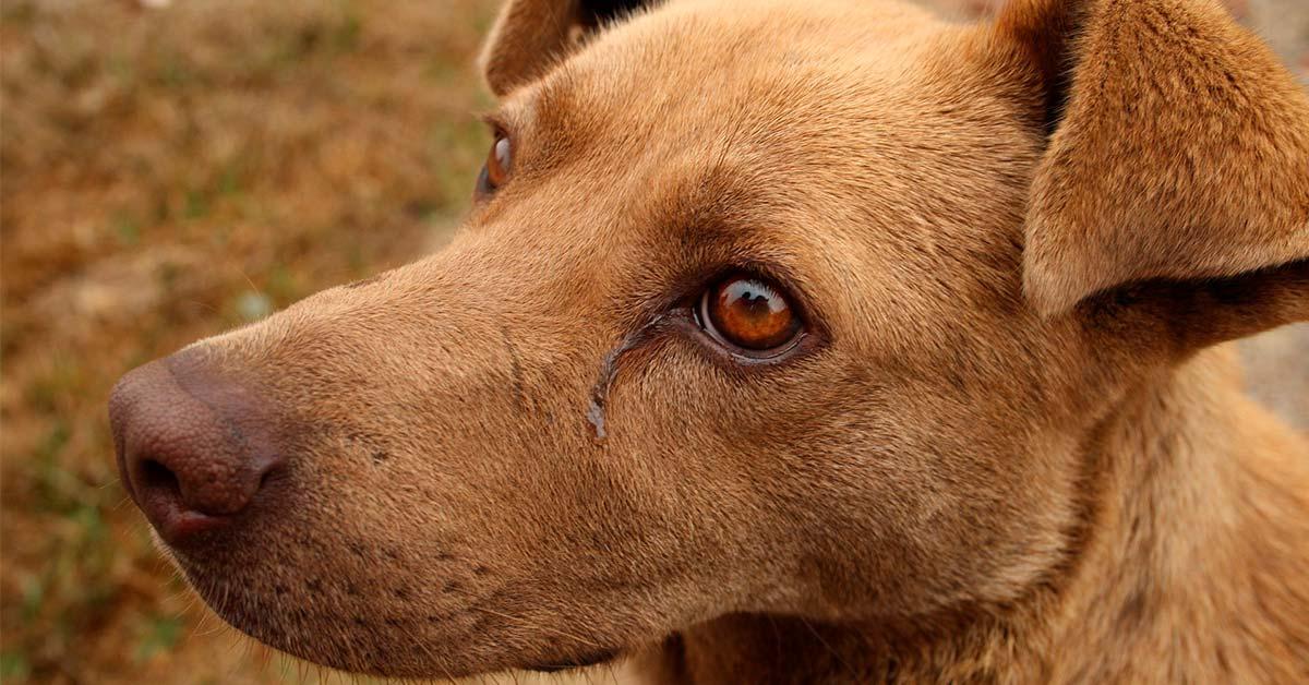 lagrimea el ojo de mi perro