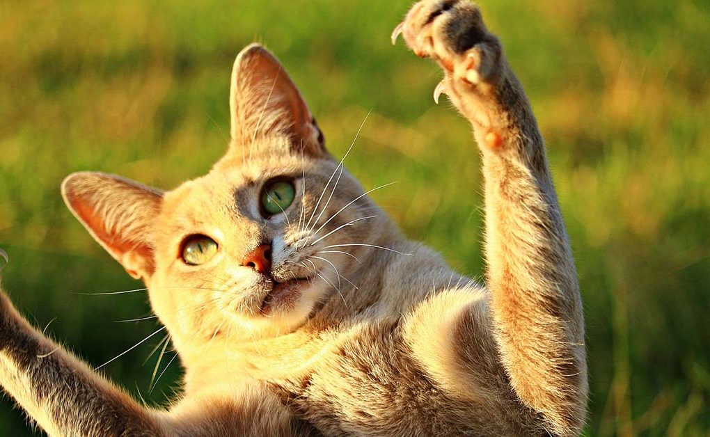 garras del gato